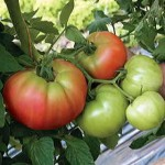 Country Tomatoe Parkseed